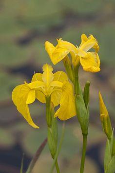 Yellow-Flag Iris: Iris pseudacorus - Flickr - Photo Sharing!