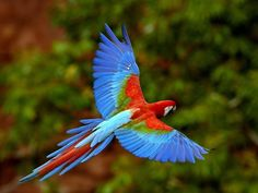 flight     macaw (from copyright-free site) #upUp&Away #flight #parrot #macaw #feather