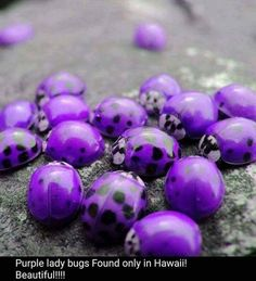 Purple lady bugs Found only in Hawaii! Purple or red.I don't like lady bugs! - ive never seen these in Hawaii. The Purple, All Things Purple, Purple Rain, Shades Of Purple, Purple Stuff, Purple Swag, Purple Velvet, Beautiful Bugs, Amazing Nature
