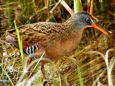 Common Name: VIRGINIA RAIL,  Scientific Name: RALLUS LIMICOLA