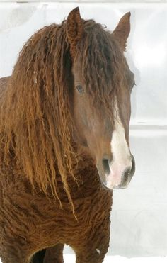 Curly horse!