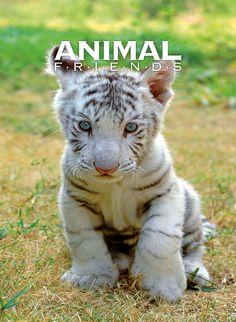 Cucciolo di tigre bianco. Questa e le altre foto di animali le trovi sui nostri quaderni Animal Friends - in vendita su http://www.paperfriends.it #quaderni #Animali #Idee #Regalo #Animal #Friends #Vendita