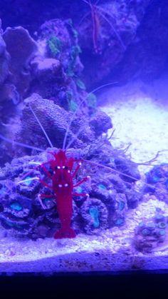 Fire red shrimp reef tank zoohoo
