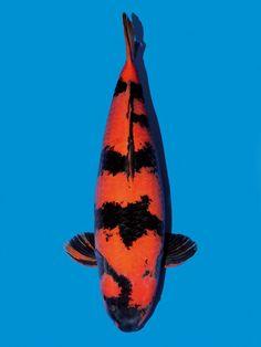 Hi Utsuri, Koi Carp, Whale, Animals, Whales, Animales, Animaux, Animal, Animais