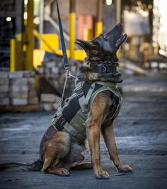 Veterans Day is celebrated on March which is the date that the US Army Corps was founded in Spread the word and help honor the dogs who serve. Here are five out of the countless military dogs who deserve our respect. Army Dogs, Police Dogs, Military Working Dogs, Military Dogs, Belgian Shepherd, German Shepherd Puppies, Laika Dog, Pastor Belga Malinois, Dog Vest