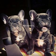 'Zoey and Bridget', French Bulldogs.