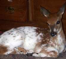 This deer is a piebald which means she is a very rare deer with white spots. Pretty Animals, Animals Beautiful, Cute Animals, Albino Deer, Cow Elk, Musk Ox, Deer Pictures, Bull Elk, Fox Dog
