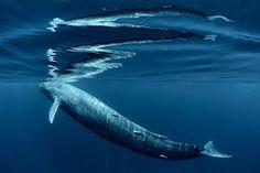Large 20+m Blue Whale Surfacing Photo by Patrik Bartuska -- National Geographic Your Shot