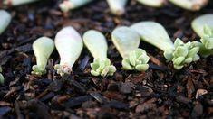 4 Basic Ways of Propagating Succulents