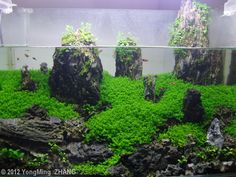 2012 AGA Aquascaping Contest - Entry #125