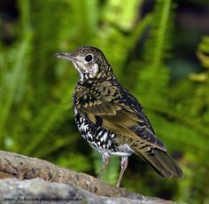 Scaly Thrush ( Zoothera dauma ) a migratory Thrush that breeds in Eastern Asia and Siberia