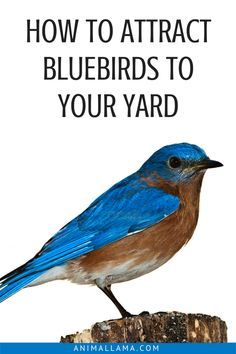 Enjoy the company of stunning bluebirds in your yard or garden throughout the year! It's not that hard to attract them to your yard when you know what their needs are. Learn how to attract bluebirds to your yard by satisfying their 4 essential needs. Garden Bird Feeders, Diy Bird Feeder, Bird Suet, Garden Birds, Butterfly Garden Plants, Best Bird Feeders, Bird Bath Garden, Roses Garden, Wild Life