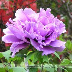 Light Purple Peony (aka Xin Shou)