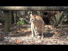 While hanging out in Arlie Beach in the Whitsundays near the Great Barrier Reef, we took a couple day trips. One of those trips took us out to see kangaroos. - TheOpportunisticTravelers.com