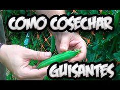 Como Y Cuando Cosechar Guisantes || Huerto Organico || La Huertina De Toni