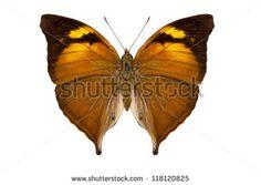 Papilionidae Fotos, imagens e fotografias Stock   Shutterstock
