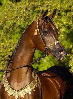 Thee Desperado in Arabian Fancy Tack ,Suzanne photo - ArabianFancy - Gallery - Arabian Horse Breeders Network