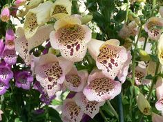 foxgloves flowers | flowers for flower lovers.: Foxgloves flowers.