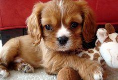 Cavalier King Charles Spaniel, King Charles Puppy, Cavalier King Charles Blenheim, Cute Puppies, Cute Dogs, Corgi Puppies, Baby Animals, Cute Animals, Sleeping Puppies