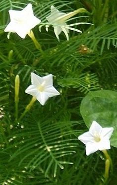 Annuals - Annuals - Cypress Vine 'White'