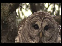 """The Barred Owl's """"who-cooks-for-you"""" call. I hear this quite often here in Charlotte, NC. They are beautiful birds, easier to hear than see, though they can be aggressive for those trying to walk on the trail during nesting season. Barred Owl Call, Nocturnal Animals, Cute Animals, Owl Who, Owl Classroom, Backyard Birds, Birds Of Prey, Owls, Kids"""