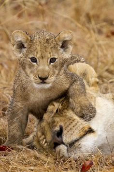 *Lioness with her cub - Masaai Mara National Reserve  (©Chad Cocking)