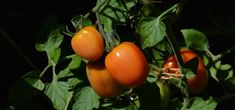 Doing some organic gardening is ideal and these tomatoes gardening tips are some of the best you will come across. Growing tomatoes in pots is ideal if you are suffering from limited garden space. If you are into the hobby of home gardening or Home Vegetable Garden, Tomato Garden, Growing Tomatoes In Containers, Growing Vegetables, Organic Fertilizer, Organic Gardening, Permaculture, Gardening For Beginners, Gardening Tips