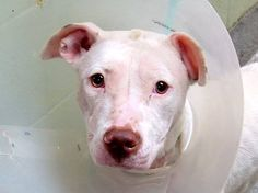 TO BE DESTROYED - 10/31/14 Manhattan Center   My name is WILHEMINA. My Animal ID # is A1018851. I am a female white pit bull mix. The shelter thinks I am about 1 YEAR 6 MONTHS old.  I came in the shelter as a STRAY on 10/27/2014 from NY 10456, owner surrender reason stated was ABANDON.
