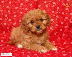 Felix - Cavapoo Puppy for Sale in Dornsife, PA - Cavapoo