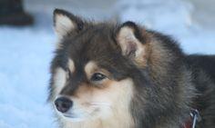 The Finnish Lapphund Pack