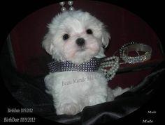 Maltese  Puppy~ What a cutie pie!