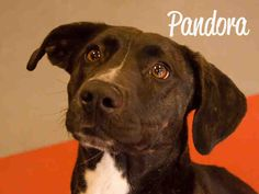 PANDORA (very friendly)...FOUND IN PITTSBURGH, PA...NOW ADOPTABLE!!! PetHarbor.com: Animal Shelter adopt a pet; dogs, cats, puppies, kittens! Humane Society, SPCA. Lost & Found.