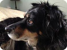 Cleveland, OH - Australian Shepherd. Meet Rikki, a dog for adoption. http://www.adoptapet.com/pet/9481318-cleveland-ohio-australian-shepherd