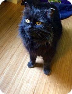 Stafford, VA - Maine Coon. Meet Vanessa, a cat for adoption. http://www.adoptapet.com/pet/17720565-stafford-virginia-cat