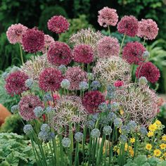 LOVE the alliums!!!