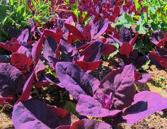 red orach looks, tastes great in spring garden    delicious very early and self-seeding plants, they are not acidic, like spinach or chard, low in oxalic acid, at least in the early stage, make sure you head them back before they grow into a tall stalk.