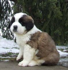Saint Bernards are sweet, friendly dogs that possess an age-old wisdom and a steady disposition. They are powerful, to be sure, but also have a mellow gentleness that makes them superb playmates for children. Saint Bernards are especially fun to play with in the tall grass or snow.