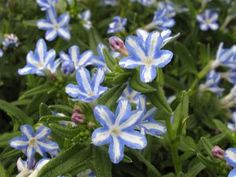 lithodora, white star - The plain blue ones are common favorites around here, but That little white star caught me...... and made me spend my money on it!  It will be a pretty 'filler' anywhere!