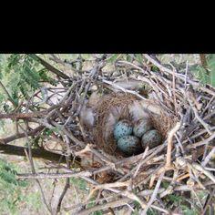 Mocking Bird Nest Bird Feeders, Bird Nests, Mocking Birds, Hobby Farms, Natural World, Blue Bird, Habitats, Garden Sculpture, Thrasher