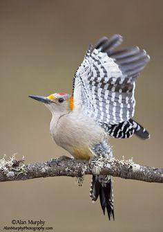 Golden-fronted-Woodpecker-58