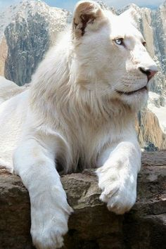 Who remembers this cartoon - Kimba the white lion? He's the friendliest lion around. Oh Kimba the white lion. Animals And Pets, Baby Animals, Cute Animals, Wild Animals, Beautiful Cats, Animals Beautiful, Big Cats, Cats And Kittens, Gato Grande