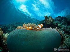 Peces payaso occidentales protegiéndose en su anémona, en el mar de Molucas (Indonesia).