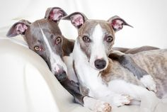 Blink once and these fast little pups are gone.- 10 Quick Facts About Whippets | Mental Floss