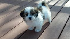 Our new puppy, a Malshi (Maltese / Shih Tsu).  His name is Snicker Doodles, and is 8 weeks old in this picture.