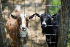 Urban homesteading - goats for milking