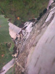 Biało-czarna kora i zielone liście - połączenie jedyne w swoim rodzaju.