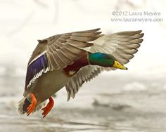 Mallard Duck in Flight by Laura-Meyers, via Flickr