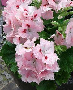 Franse geraniums Rosa
