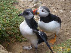 Puffin & puffling on Skomer Island