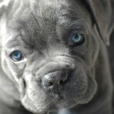 Blue Cane Corso Puppy... I believe this is a need!